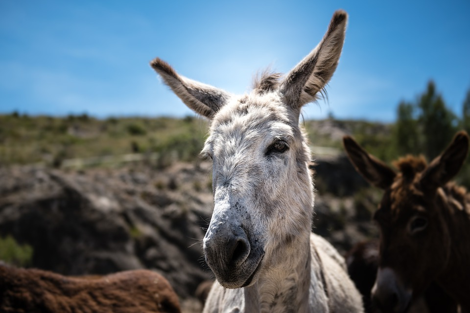 Plowing mules