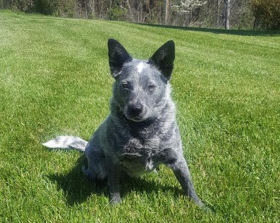 Kate the Blue Heeler at Laurel Fork Rustic Retreat