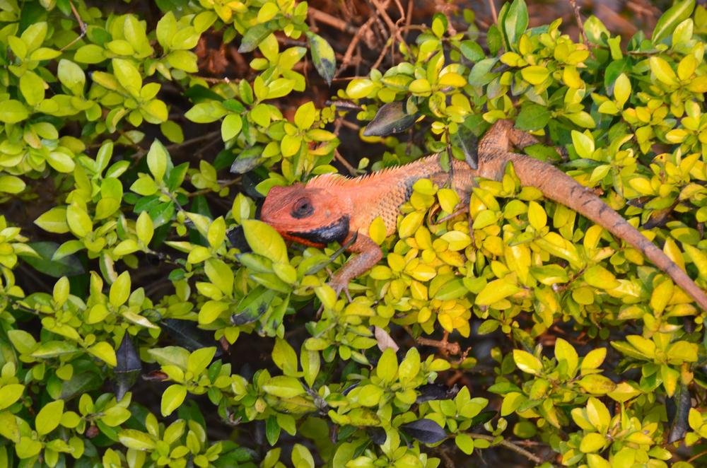 mck-3-23-15-lizard-bush-DSC_1868.jpg