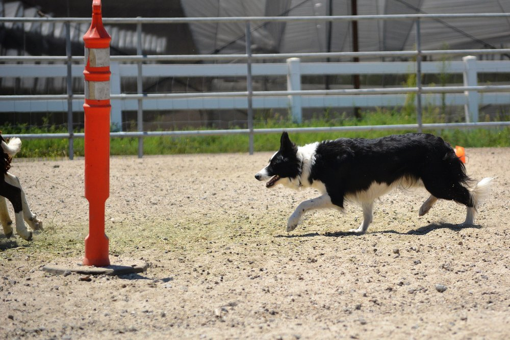 Details  - Registered with:American Border Collie AssociationAmerican Kennel ClubOFA Good hipsCEA Clear by parentage (Sleet/Bean)
