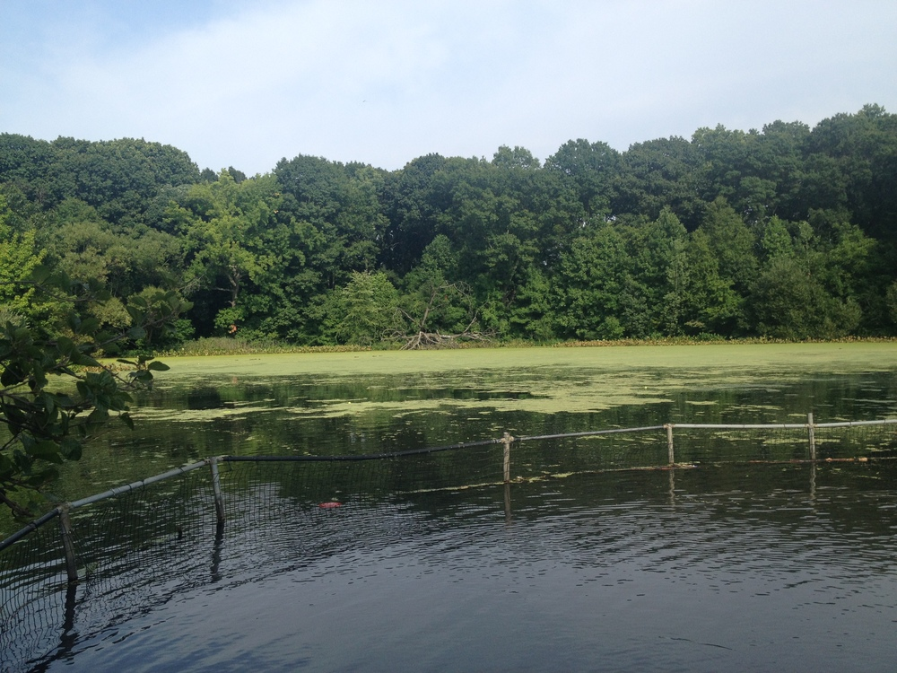 Just a tiny piece of Prospect Park- the swamp, watery part. The park is huge