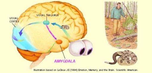 Amygdala20La20doux.jpg