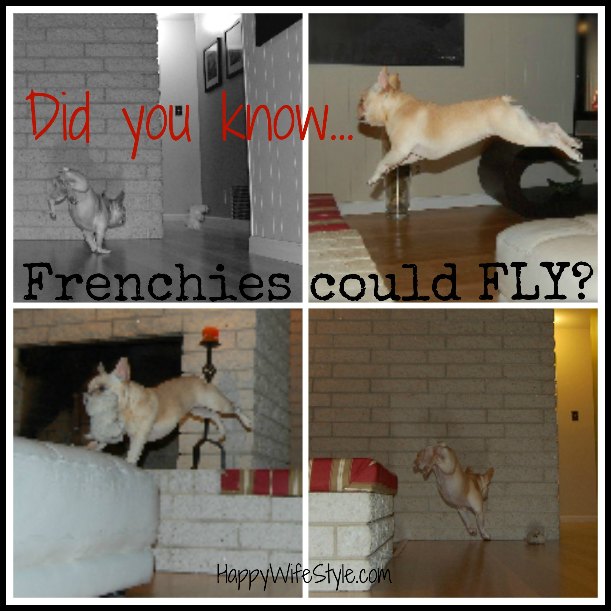 fly-frenchie-collage