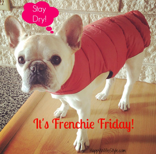 frenchie-friday-stat-dry