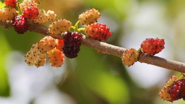 Mulberry photo by   coniferconifer   CC BY