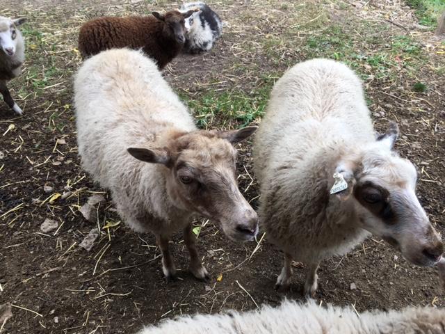 two ewes.jpg