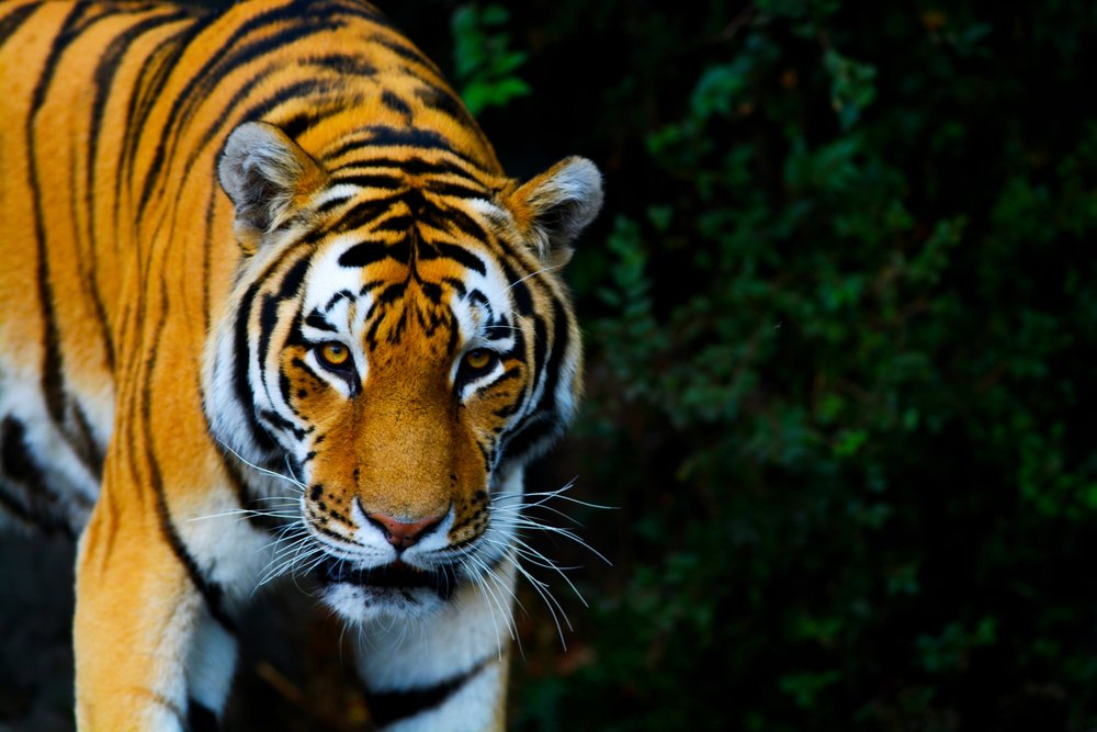 An Amur Tiger, Whirl