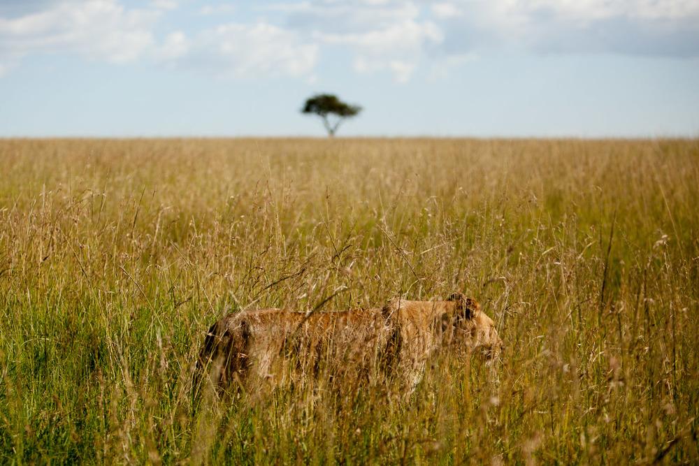 Lioness, Maasai Mara National Reserve, Kenya
