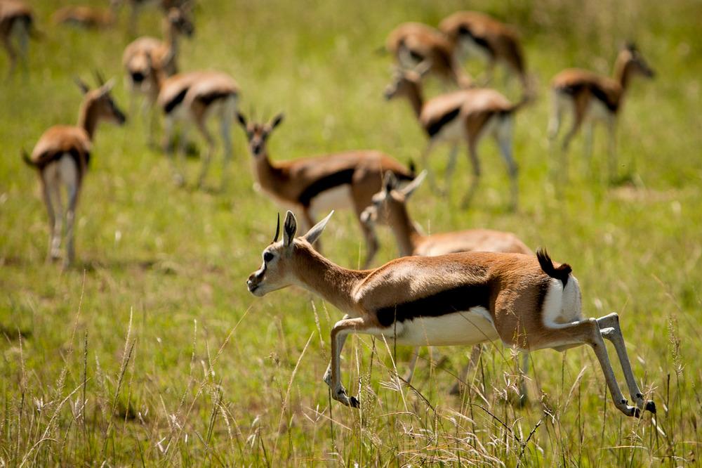 Gazelles, Maasai Mara National Reserve, Kenya