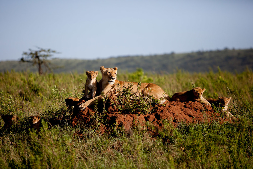 Lioness and Cubs, Maasai Mara National Reserve, Kenya