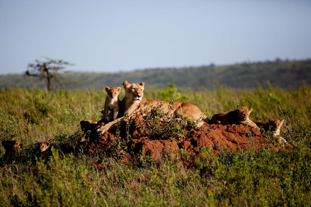 Lioness and Cubs, Maasai Mara National Reserve, Kenya