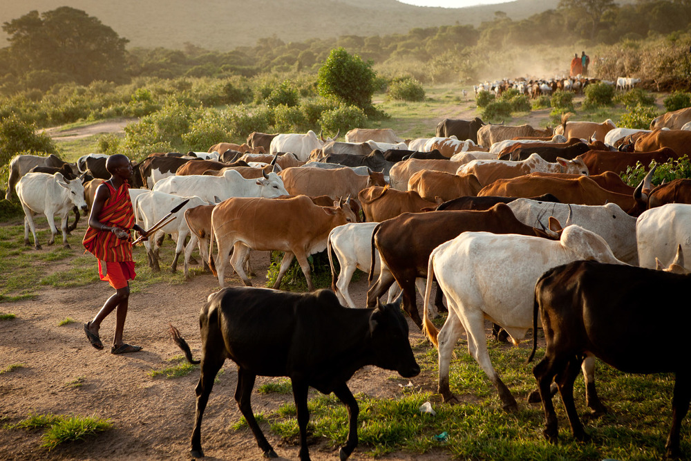 The Maasai diet consists of raw meat, raw milk, and raw blood from cattle.