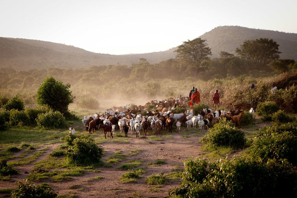 Goat Herding, Maasai Mara National Reserve, Kenya