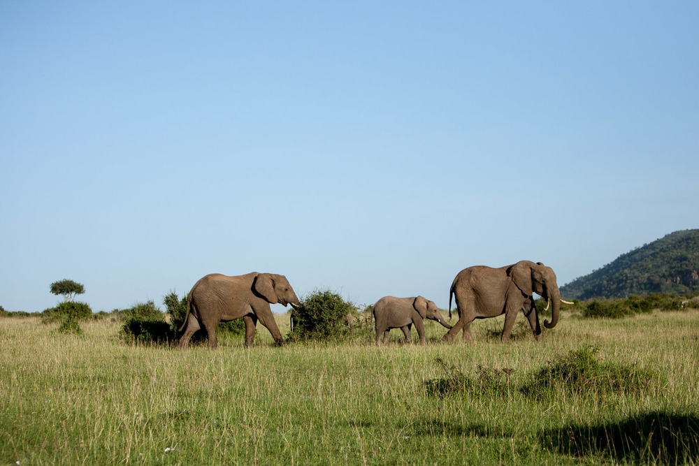 Elephants, Maasai Mara National Reserve, Kenya