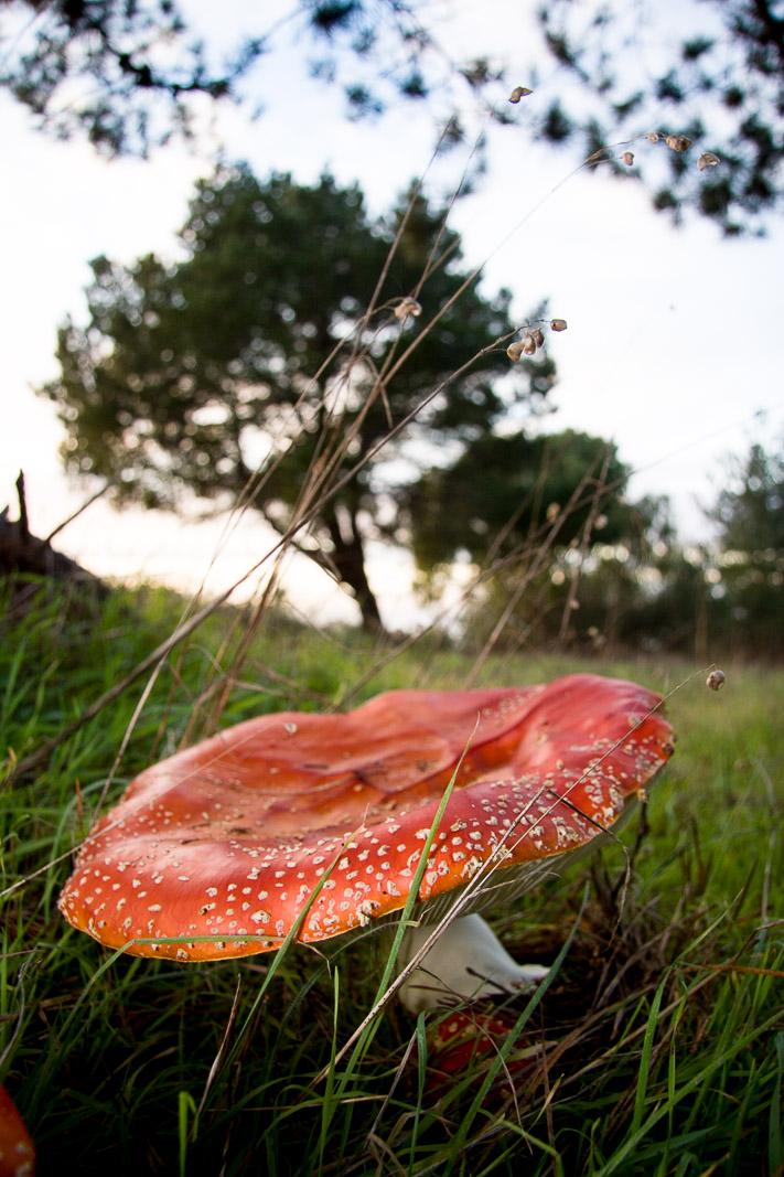 Amanita Muscaria, Montara Mountain, California