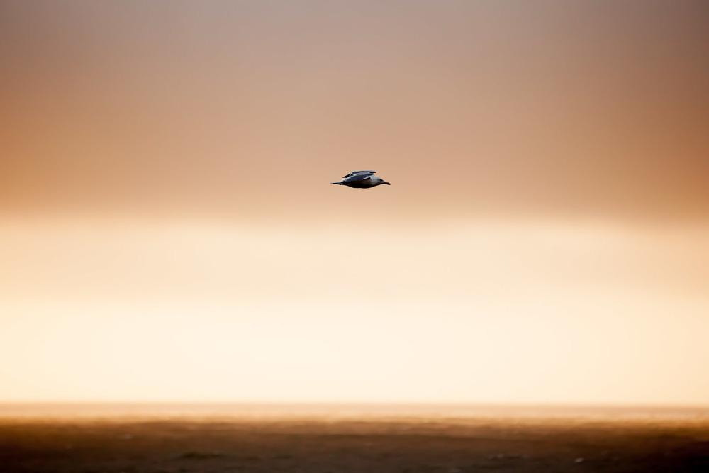 Seagull, Montara, California
