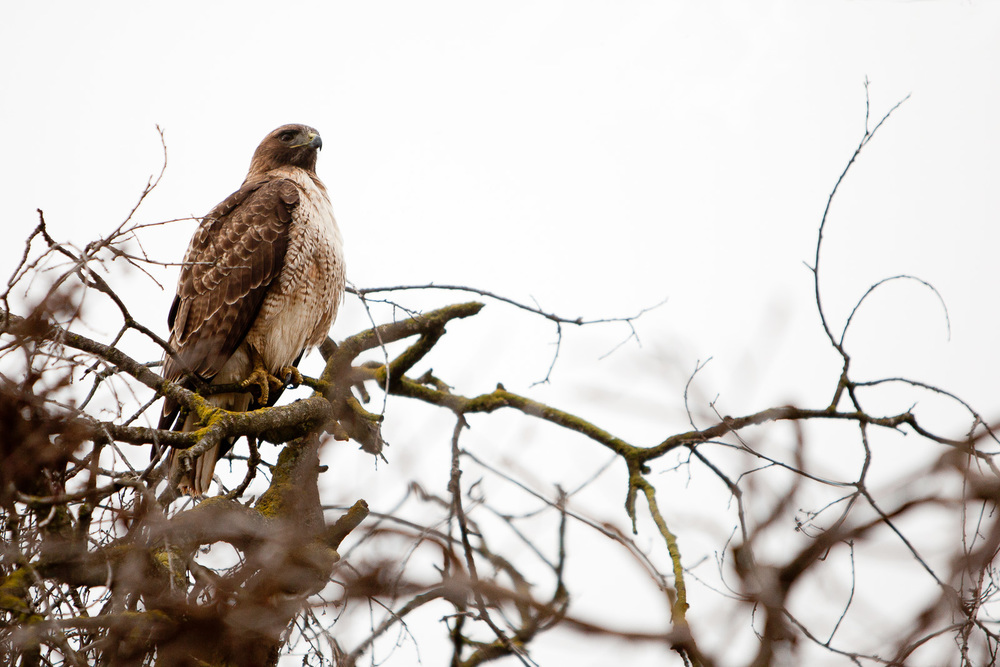 Red Tailed Hawk, California