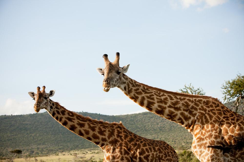 Giraffe, Maasai Mara National Reserve, Kenya
