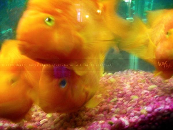 Sushi Suki goldfish
