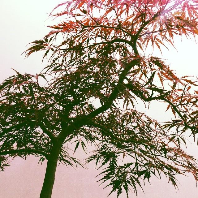 #bonsai (at Chicago Botanic Garden)