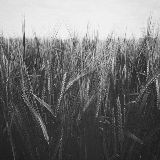 #VSCOcam #barley #field