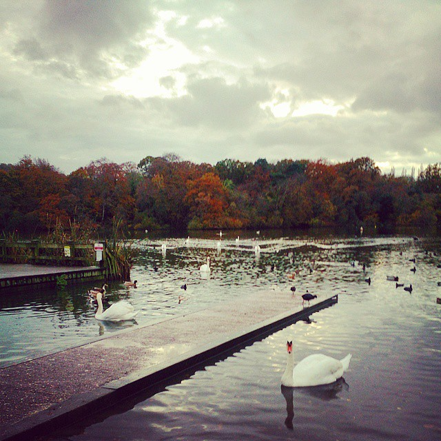 #autumn #lake #swan #vsco #trees #evening #storm