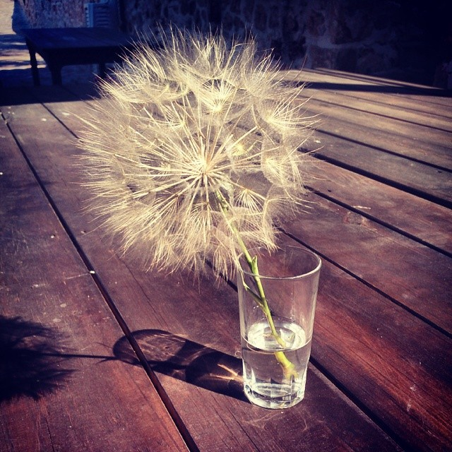 Found this dandelion-esque looking flower near our villa! Ed tried mustering the breath to blow them all off but they don't move, hilarious watching him try though! #dandelion #flora #Crete #outdoors #littlelungs #notenoughpuff