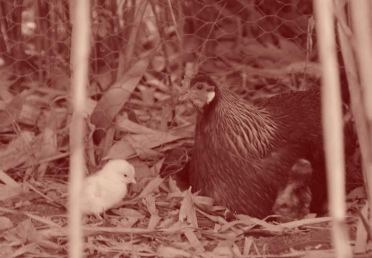 Le lien entre la poule &son rejeton est aussi un lien bactériologique