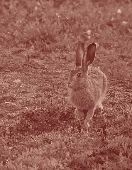 Le lièvre a de grandes oreilles orientables.