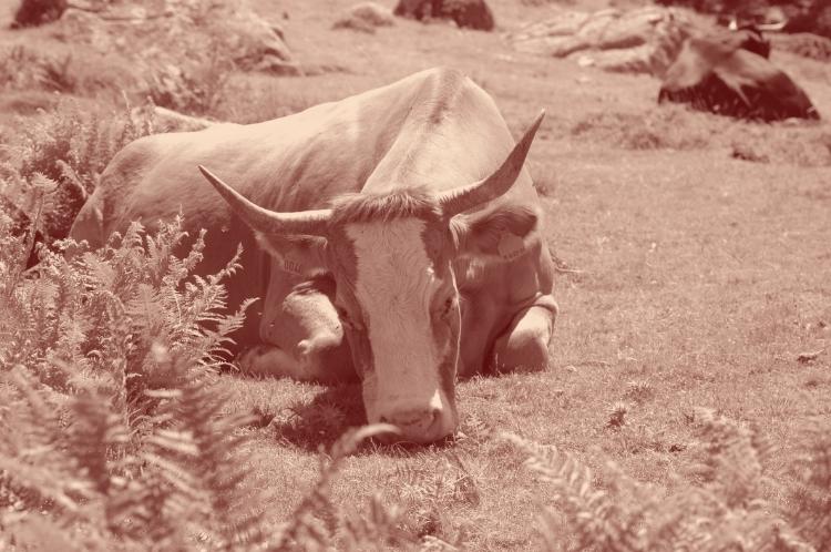 La vache fainéante broute couchée.