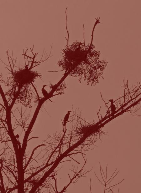 Les cormorans nichent en familles