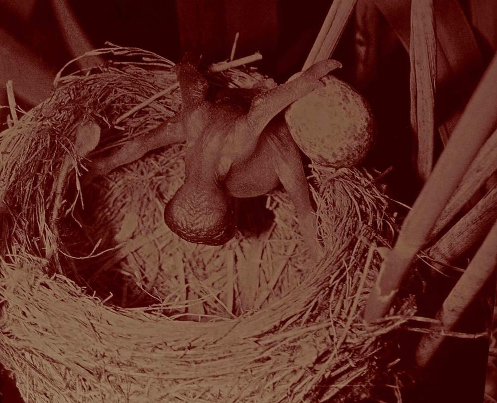 """L'instinct coucou leur impose à la naissance de """"faire place nette"""", de jeter les autres oeufs par dessus le nid."""