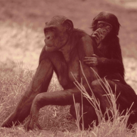 La femelle Bonobo porte-t-elle des seins ?