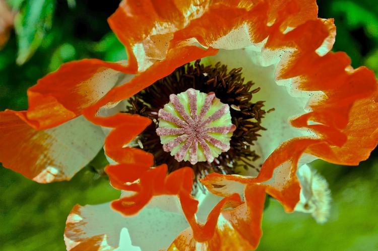 La fleur du diable et du bon dieu, le pavot.