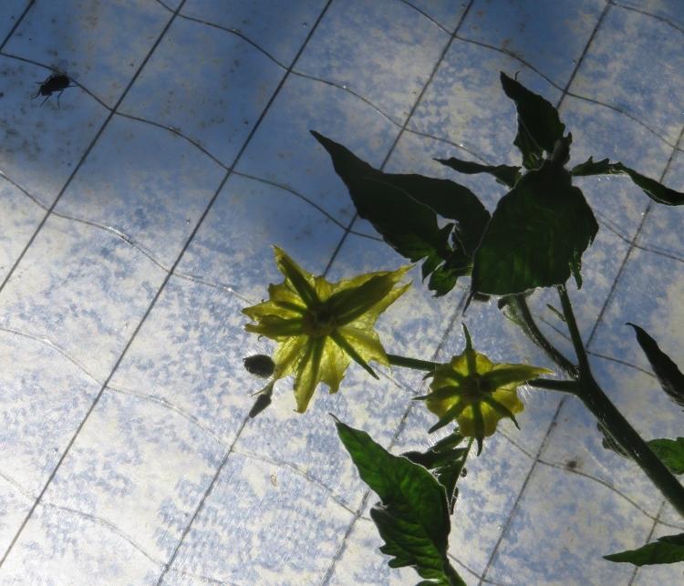 Fleurs de tomates et mouche sous serre