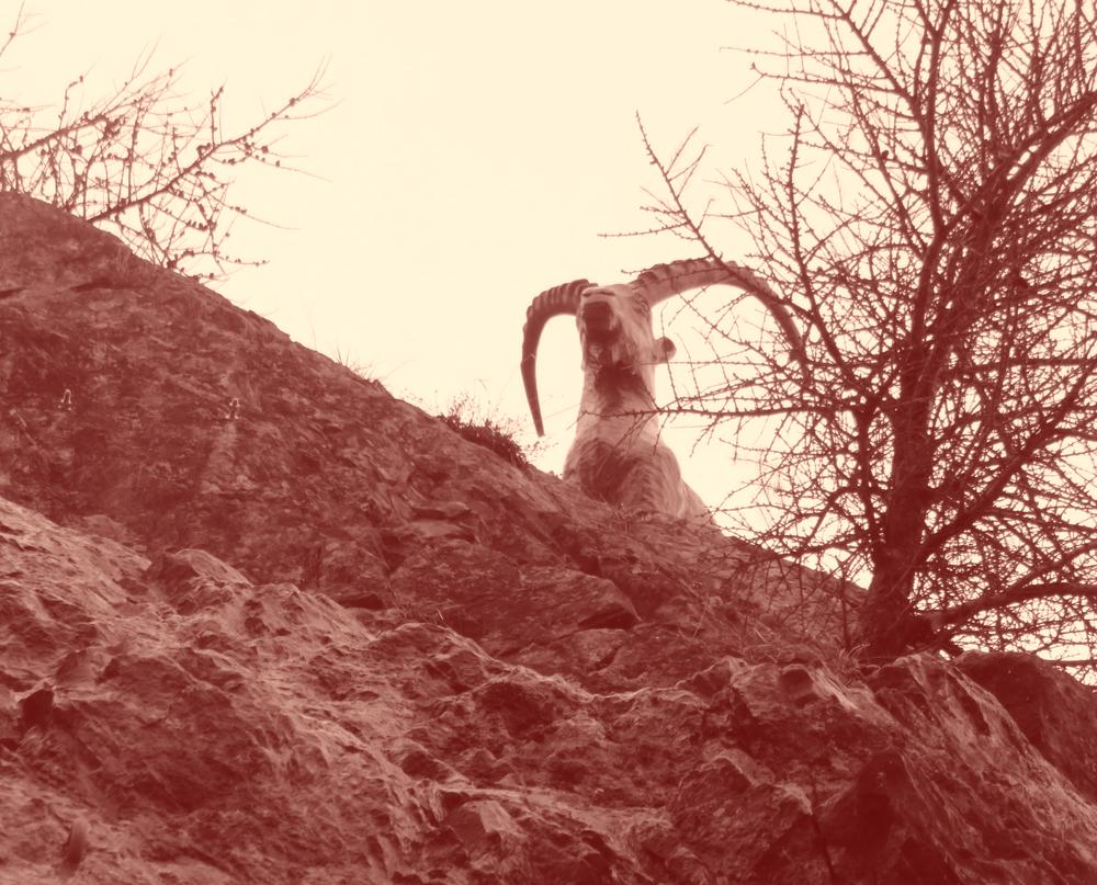 Mouflon, un beau mâle qui n'a pas senti le photographe, sous le vent.