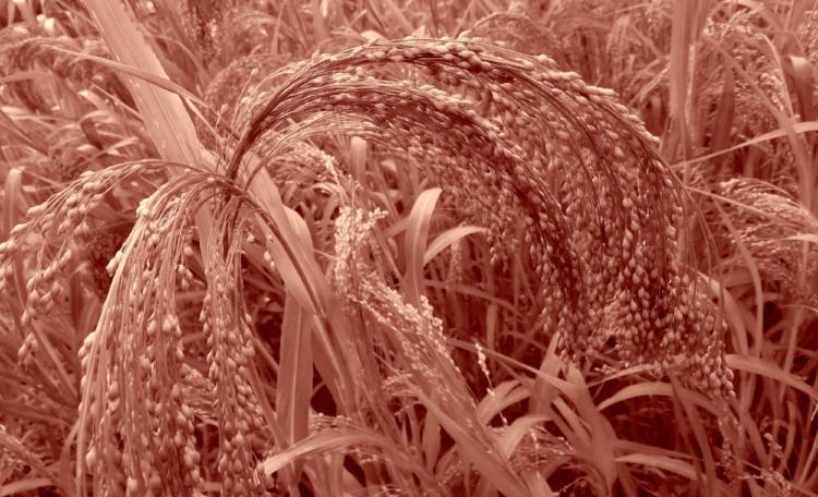 Epis de millet, appréciés des jolis chardonnerets.