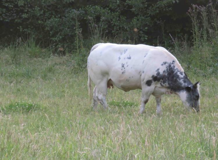 Vache bleue et propre.