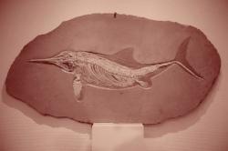Formidable fossile montrant la nageoire caudale du reptile.