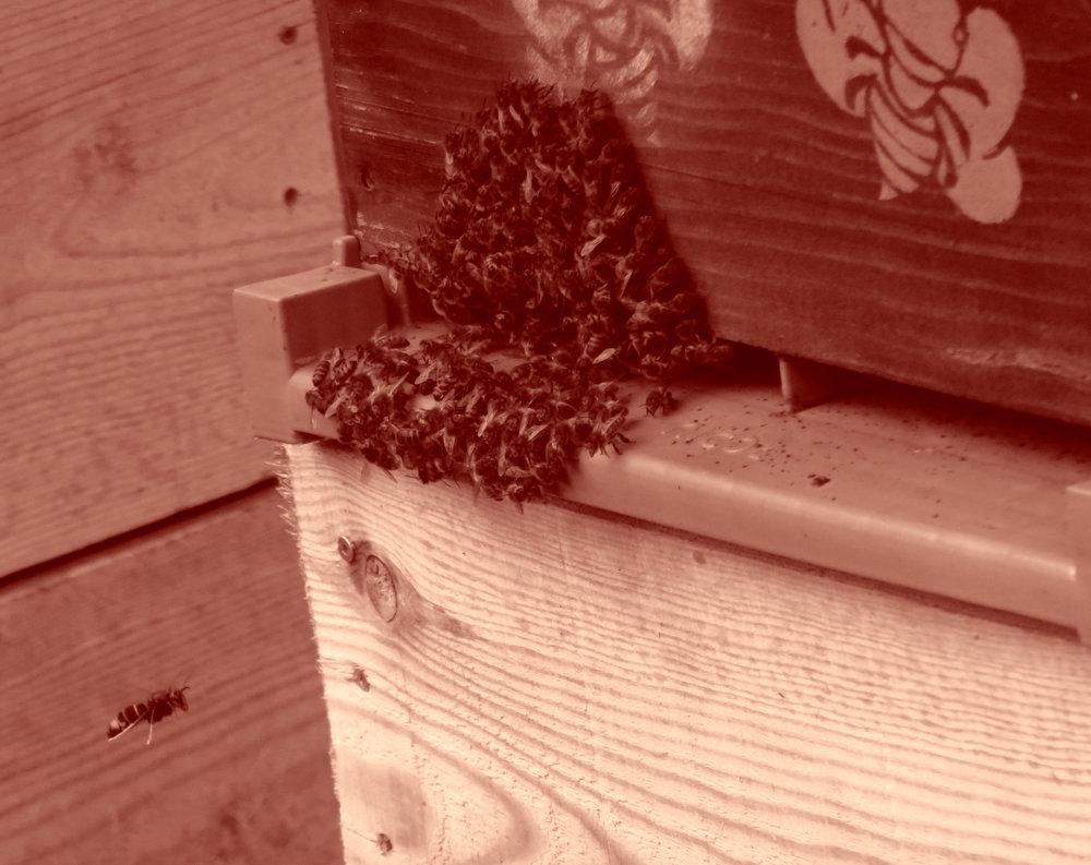 Frelon en vol stationnaire à l'entrée de la ruche. Les abeilles se regroupent en face du prédateur.