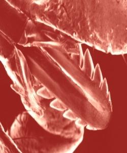 L'éperon que la tique enfonce dans la peau s'appelle un rostre.