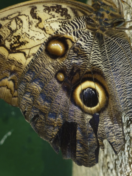 Ce fragile insecte trompe son monde : ces yeux inquiétants troublent l'oiseau ennemi.