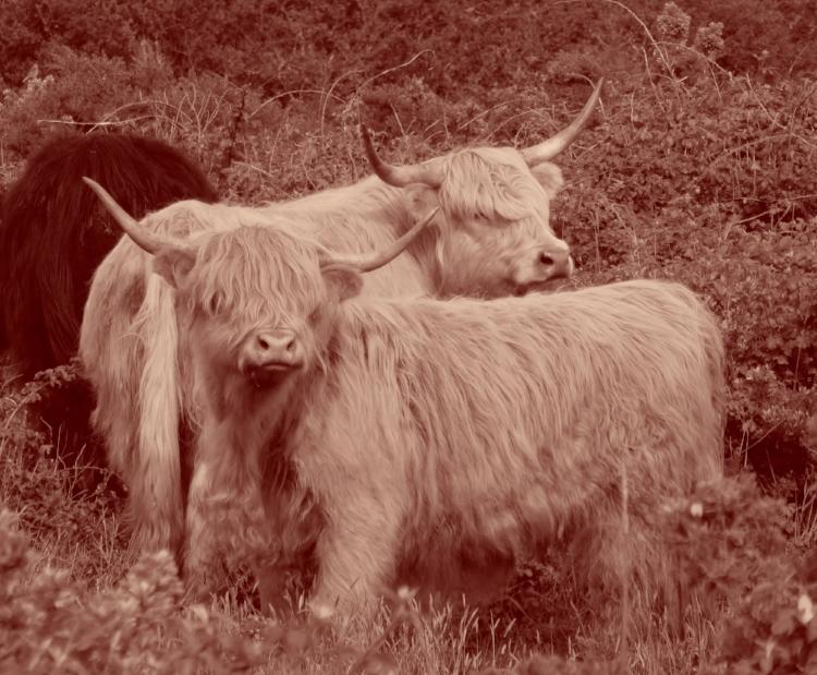 Vaches écossaises émigrées en Bretagne, sous contrôle.
