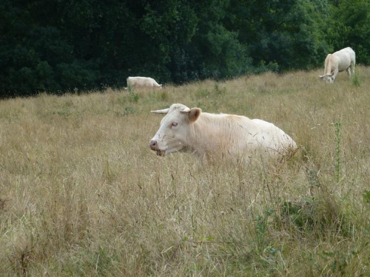 J'aime les vaches, leur odeur, leur impassibilité, leur chaleur. Elles ont des grandes vertus calmantes, rassurantes. Je comprends les égyptiens qui en avaient fait une déesse des plus importantes, à leur firmament : Hathor se dessine dans le ciel, avec la voie de lait, dite lactée.