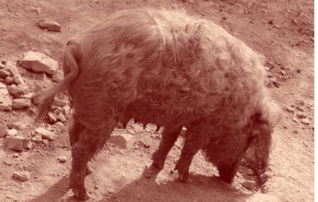 Porc poilu