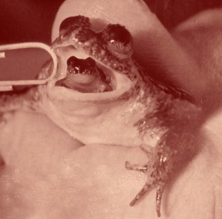 """Comme toutes les mamans du monde, les grenouilles rivalisent d'ingéniosité pour protéger leurs rejetons. Cette espèce se prive de nourriture quelques semaines, pour une gestation """"longue en bouche""""."""