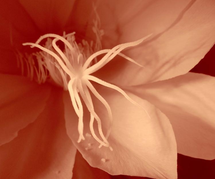 Bel organe femelle, le pistil de la fleur de lune.