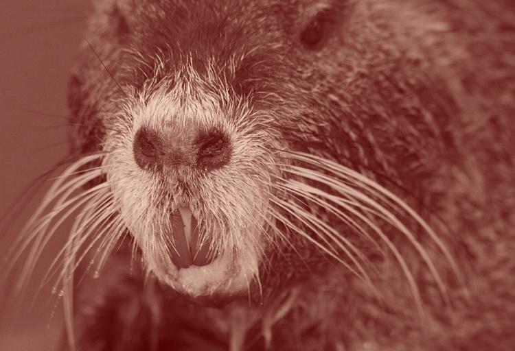 Deux fortes incisives : c'est un ragondin, un rongeur qui peut atteindre sept kilos à l'âge adulte.