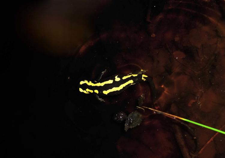 P1020241.jpg Salamandre Guy Grandjean