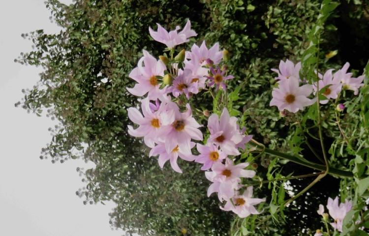 Abeilles tardives sur fleurs de novembre.